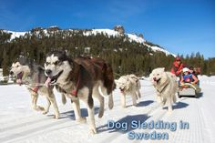 """Set yourself apart from the pack and sign up for a dog sledding trip to Sweden. Your inner adventurer will be fulfilled by mushing through an action-packed getaway in Sweden's rugged Lapland region. Learn to """"mush"""" with your own team of huskies through forests of pines."""