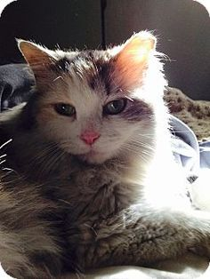 Chicago, IL - Domestic Longhair. Meet Alley Lane, a cat for adoption. http://www.adoptapet.com/pet/12805756-chicago-illinois-cat