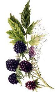 Wild Blackberry Musk Perfume by Ava Luxe