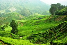"""Cameron Highlands, Malaysia — by Jessvin  Ng. Feel too hot in Malaysia? Place to """"cool"""" off the heat with tea plantation scenery. Good place to visit if you like..."""