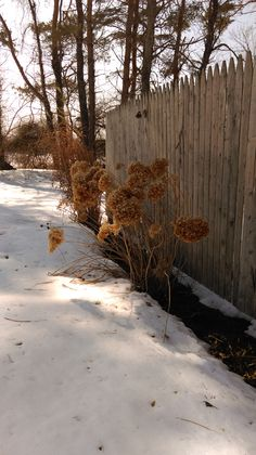 Don't have a boring winter landscape! Annabelle Hydrangea holds its flowers all winter and makes great dried arrangements!