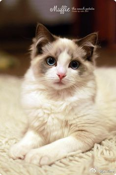 kitty cats I enjoy our minor your cat pet! Living With Cats, Foster Cat, I Love Cats, Kittens, Kitty Cats, Cuddling, Creatures, Pets, Animals