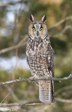 Long-eared Owl - Asio otus - South Dakota Birds and Birding - Species Information and Photos Beautiful Owl, Animals Beautiful, Cute Animals, Owl Photos, Owl Pictures, Owl Bird, Pet Birds, Nocturnal Birds, Long Eared Owl