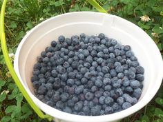 What To Do With Blueberries: So Many Berries So Little Time