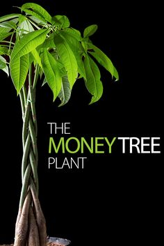 Making the most of your money tree plant - http://www.ambius.com/blog/the-money-tree-plant-pachira-aquatica/