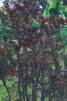 Leia-rubra: aprecia o calor trropical, não tolera frio intenso e geadas. De ramagem roxa deve ser plantada em meia sombra, solo fértil e drenável.  É uma planta arbustiva que pode alcançar 2,5 m de altura e 1,5 m de largura.