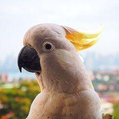 Hello Sydney 😊😂🐤❤️ #morning #my #little #friend #parrot #kakadoo #wildlife #is #closer #than #you #think #cute #puppy #travel #podroze #animals #sydney #australia #aussielife