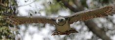 Harpyie, der stärkste Greifvogel der Welt.  Der Begriff Harpyie stammt aus der griechischen Mythologie. Die Harpyien der Griechen waren vogelähnliche Dämonen des Sturms. Sie hatten den Körper eines Greifvogels, einen Frauenkopf und Vogelflügel. Es waren schreckliche Ungeheuer, die Nahrung und Kinder stahlen. Harpyie kann mit Rafferin übersetzt werden.