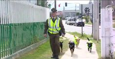 chilean dogs carabineros quilpue - Google Search