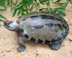 Painted Terrapin (Critically Endangered, No More Than 100 Left). Conservation Attention: Active