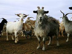 Sahara+Desert+Animals+and+Plants   Photo: Herd of goats on desert ranch