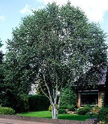 Dura Heat® River Birch for Sale | Fast-Growing-Trees.com