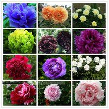 15 unids/semillas de peonía. Paeonia suffruticosa 12 colores bonsai de interior semillas de flores para el Hogar jardín de plantas semillas de flores de peonía(China (Mainland))