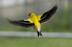 American Goldfinch (Carduelis tristis)  The American Goldfinch is also known as the Eastern Goldfinch and Wild Canary. When these birds get into the breeding season, they display a bright plumage, do fancy aerial maneuvers and sing to boost their attractiveness. Image: Thefixer