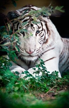 White tiger, watching...with those piercing blue eyes, oh my!