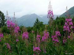 Fireweed. always makes me so happy when i see them in the states... reminds me of home.