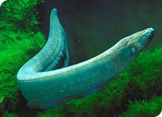a caribbean electric eel. this is NOT unagi!