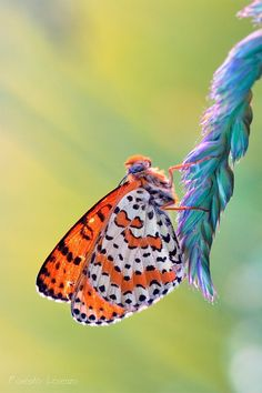 #Butterfly | Butterflies | Melitaea Didyma | The Spotted Fritillary or Red-band Fritillary is a butterfly of the Nymphalidae family. http://en.wikipedia.org/wiki/Melitaea_didyma