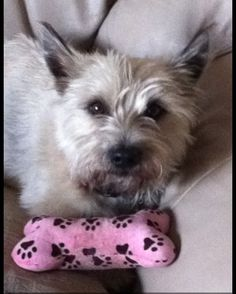 Cairn Terrier-Colby