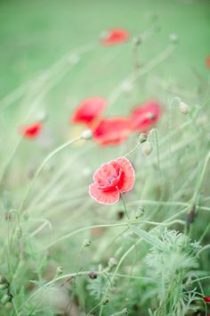 Poppies - I love poppies! They are my favorite flower.   Simply Green Photography Aberdeen, Scotland