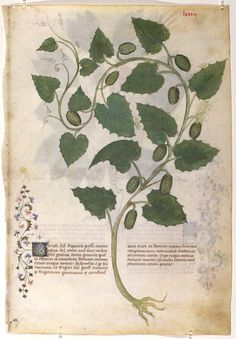Historia Plantarum - Grassi, Giovannino de', approximately 1340-1398 Grassi, Salomone de', active 1399-1400
