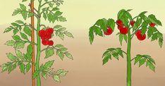 12 Astuces Pour Que Vos Tomates Poussent Parfaitement - Recette Plat - Recette Cuisine Facile Foie Gras, Kouign Amann, Beignets, Omelette, Vinaigrette, Tiramisu, Easy Crafts, Mini, Painting