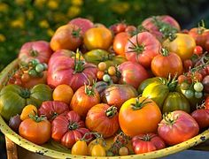 I stick with heirlooms in my own garden. Much better for seed preservation.