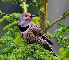 One of my favorite woodpeckers, the Northern Flicker.