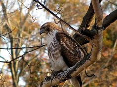 Birds of Prey - The Red Tail Hawk