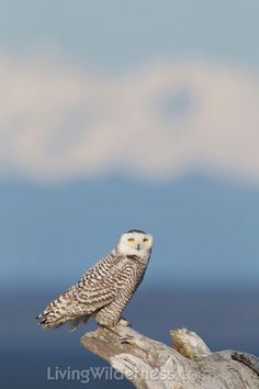 Snowy Owl with Olympic Mountains. Kevin Ebi