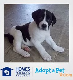 It doesn't get any cuter than Harris! This German Shepherd Dog/Labrador Retriever Mix from Memphis, TN will grow up to be a big boy (around 60 lbs full grown), but don't let size fool you - he's extremely friendly and LOVES being around children!