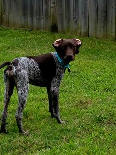 German shorthaired pointer ears back. Our puppy Kona(gsp) does this all the time around the yard while she runs a thousand laps a day!