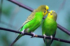 Learn Some Fast Facts About Budgies for Pets
