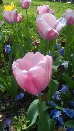 Széchenyi téri tulipánok