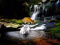 Bengal tigers go for a dip