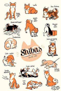 And this is why I want a shiba .'cause they're just cats in a cute fox - dog body A guide to deciding whether or not the increasingly popular Shiba Inu breed is right for you. Fox Dog, Dog Cat, Animals And Pets, Cute Animals, Japanese Dogs, Japanese Akita, Cute Fox, Italian Greyhound, Puppy Love