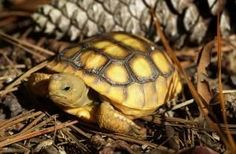 Image of Gopher Turtles, such as this juvenile, are residents of the sandhill areas that surround springs.