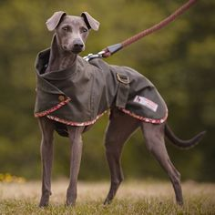 Whippet Wax Cotton coat with harness hole available in 5 colours and 4 sizes, Italian Greyhound, small, medium & large whippet.