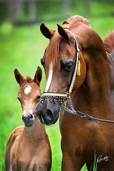 Arabian horse mare with her foal