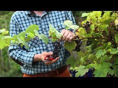 Découvrez les avantages à tailler la vigne en été. Fructification favorisée, fruits plus sucrés. Nous vous expliquons quand et comment vous y prendre.