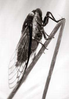 Cicada (IR Nikon D800)