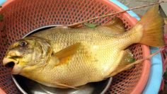 Sinh sản nhân tạo thành công cá chìa vôi Proteracanthus sarissophorus, Cantor 18...   Vietnam Aquaculture Network - Mạng Thủy sản Việt Nam