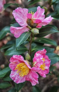 Camellia 'Autumn Carnival' (?) blooming on Long Island