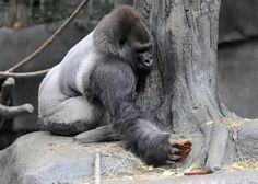 The trip to the Zoo Like Animals, Cute Baby Animals, Animals And Pets, Silverback Gorilla, Chimpanzee, Orangutans, Lincoln Park Zoo Chicago, Western Lowland Gorilla, Feltro