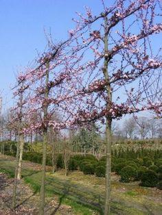 Sierkers leibomen met bloemen. Prunus cericifera Nigra ofwel de sierkers heeft rood blad en krijgt in het voorjaar een mooie rose bloesem.