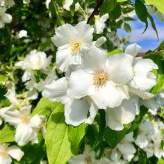 These Philadelphus flowers smell amazing! Book your dog and child friendly holiday in North Norfolk now - link in bio