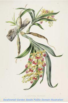 Orchid - Galeandra baueri - (1837-1843) - by Sarah Ann Drake
