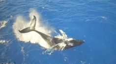 There's quite a splash caused when the humpback whale appears to get excited as it swims about off the coast of Hawaii