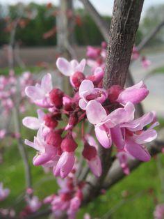 Blütenzauber! Cercis canadensis 'Forest Pansy' - rotblättriger Judasbaum
