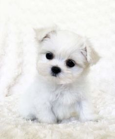Teacup Maltese Puppy for sale!